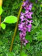 Orchis mascula3